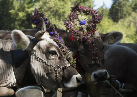 Ceremonial Cattle Drive